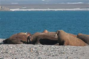 Walrus rookery of Orange island of Novaya Zemlya. Photo - M. Menshikov